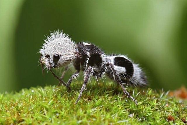 النمل الباندا