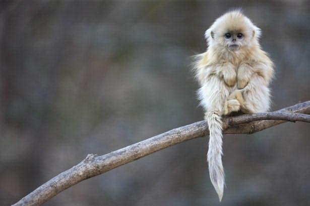 القرد الذهبى ذو الأنف الأفطس