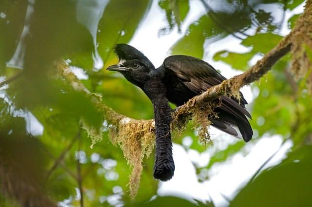 طائر المظلة ذو اللغد الطويل