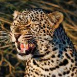 اخطر الحيوانات المفترسة